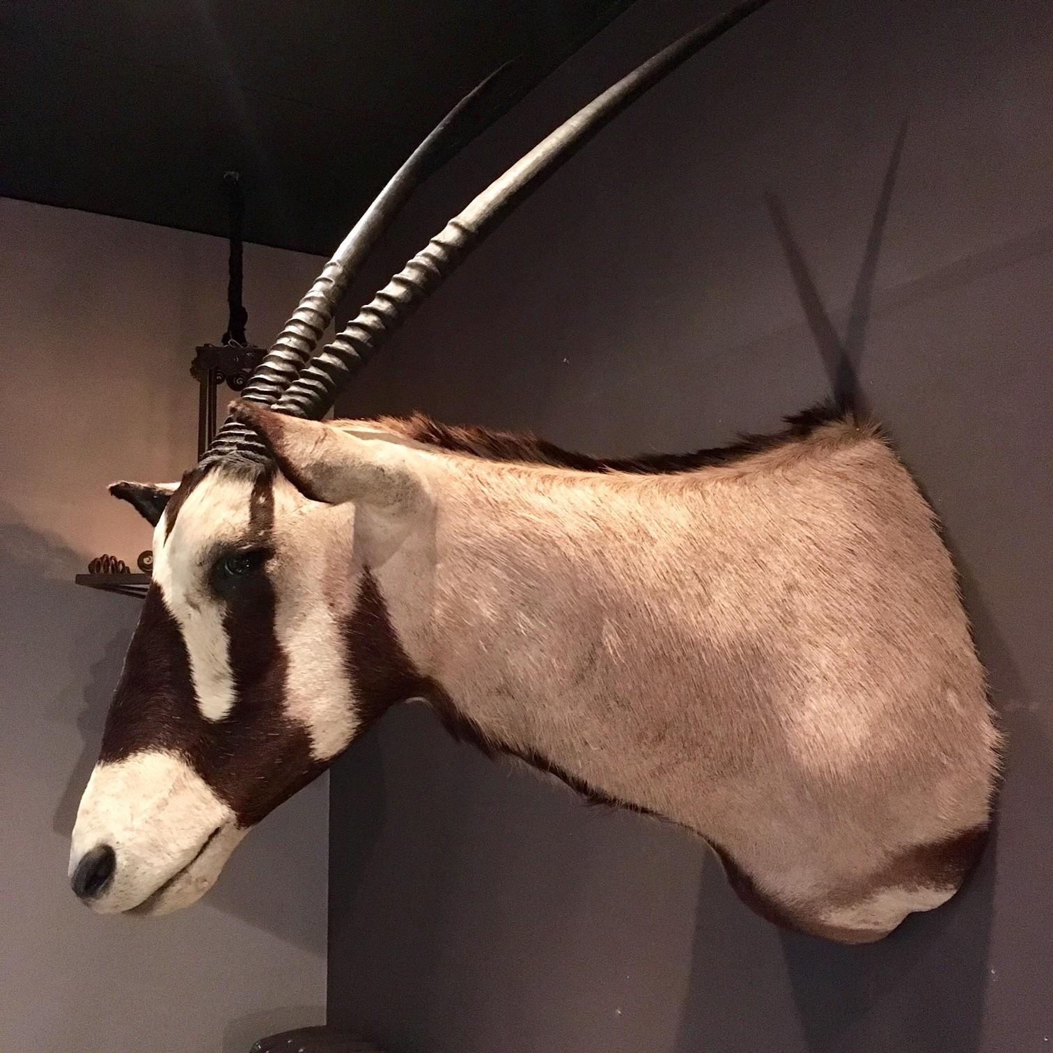 Schöner großer Kopf eines Oryx